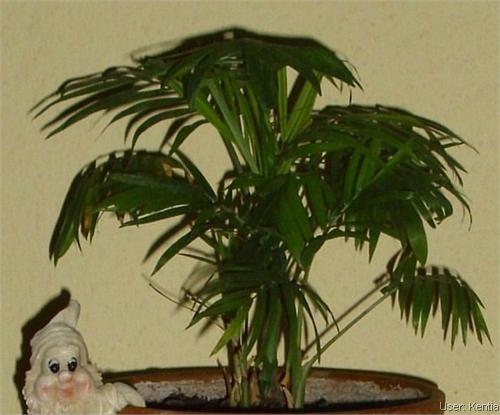 sch dlinge krankheiten phoenix palme bekommt braune bl tter. Black Bedroom Furniture Sets. Home Design Ideas
