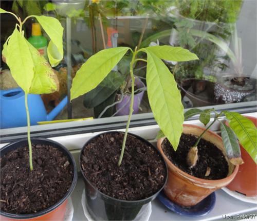 avocadobaum pflanzen wundersch ners avocadobaum in. Black Bedroom Furniture Sets. Home Design Ideas