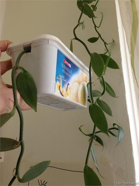 exotische nutzpflanzen 1 vanille berwintern. Black Bedroom Furniture Sets. Home Design Ideas