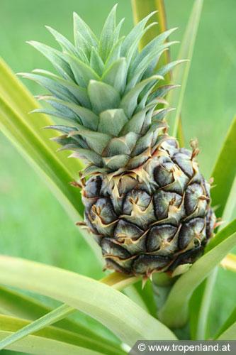 ananas ziehen ananas selbst ziehen ananas selber ziehen zimmerpflanzen dresdner mamas ananas. Black Bedroom Furniture Sets. Home Design Ideas