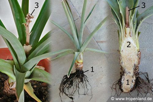 Ananas-Ananascomosus