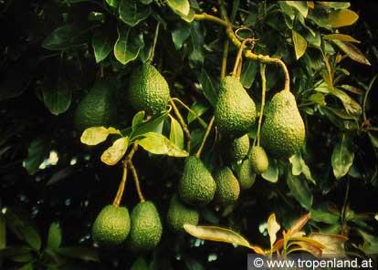 Avocado-Perseaamericana