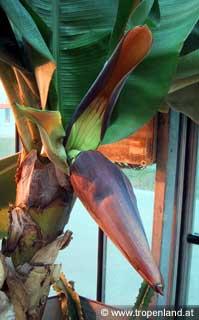 Banane-Musaacuminata