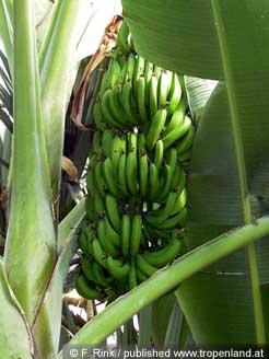 banane musa acuminata anzucht vermehrung pflege. Black Bedroom Furniture Sets. Home Design Ideas