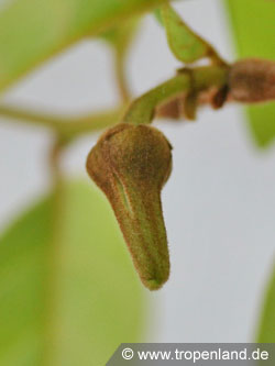 Cherimoya-Annonacherimola