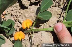 Erdnuss-Arachishypogaea