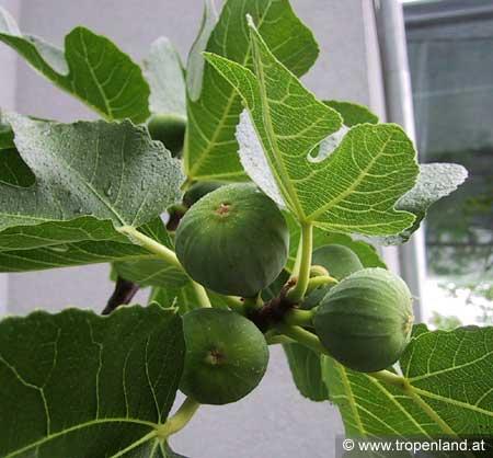 Feige-Ficuscarica