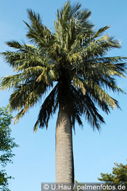 Honigpalme-Jubaeachilensis