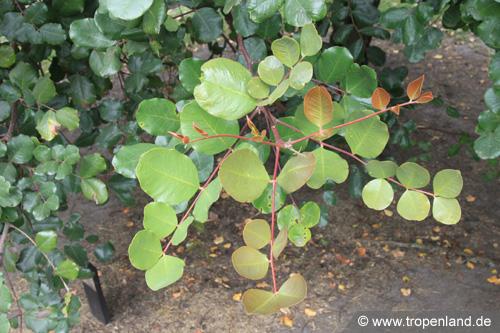 Johannisbrotbaum-Ceratoniasiliqua