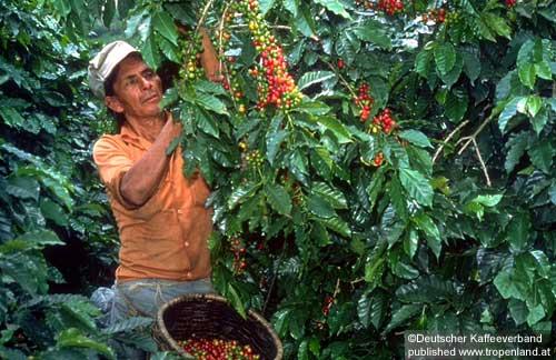 Kaffee-Coffeaarabica