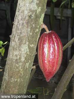 Kakao-Theobromacacao