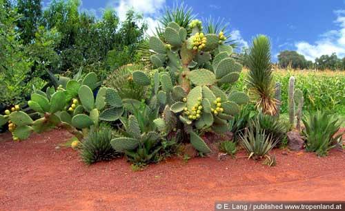 Kaktusfeige-Opuntiaficus-indica