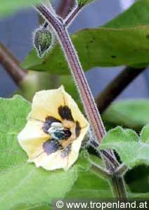 Kapstachelbeere-Physalisperuviana