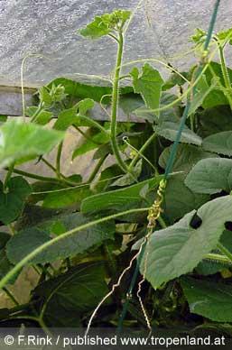 Kiwano-Cucumismetuliferus