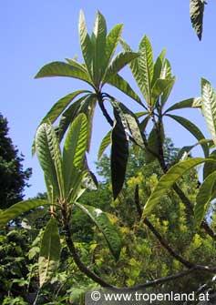 Loquat-Eriobotryajaponica