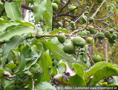 Mango-Mangiferaindica