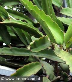 Pitahaya-Hylocereusundatus