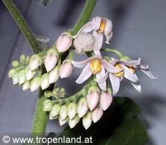 Tamarillo-Solanumbetacea