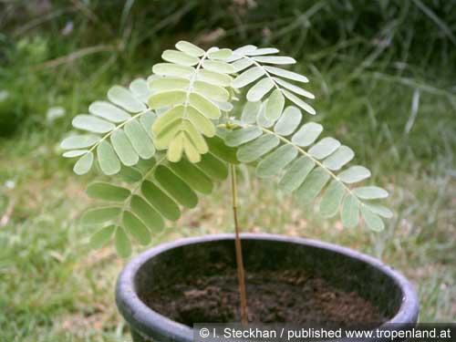 Tamarinde pflanzen