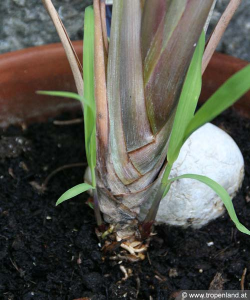 Zitronengras-Cymbopogoncitratus