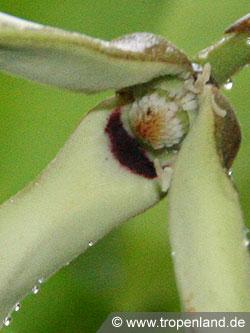 Annona cherimoya